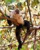 Capuchin Monkey P V