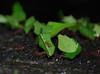 leaf cutters LS