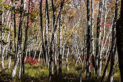 Forest at Sieur de Monts