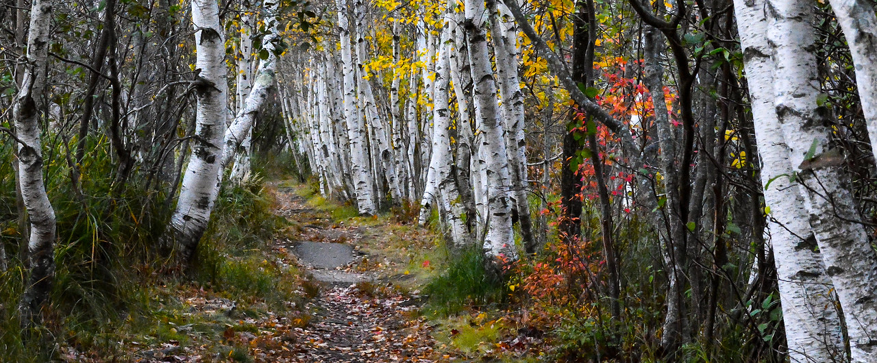 Birch Tree Path