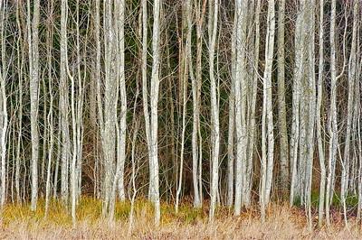Winter White Birch