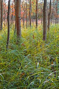Grass & Birch (narrow)