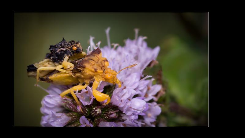 Ambush bugs  | Phymatidés