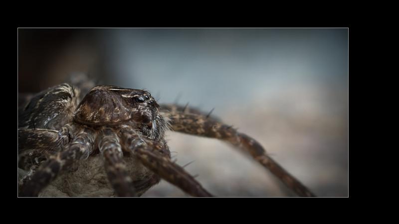 Terrestrial Fishing Spider | Dolomède ténébreuse