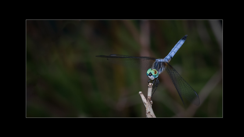 Blue dasher | Pachydiplax
