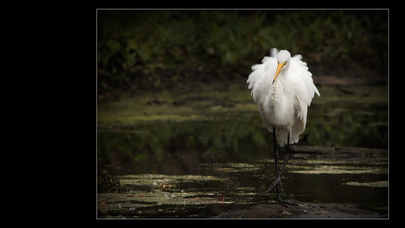 Great egret | Grande aigrette -- Mention Excellent