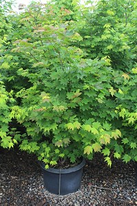 Acer circinatum (nursery grown) 4-5 ft #10