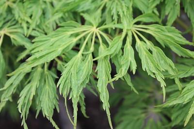 Acer jap  'Green Cascade' (3)