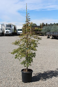 Acer jap  'Green Cascade' 3-4 ft #10