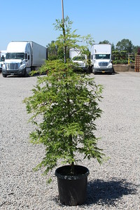 Acer jap  'Green Cascade' 4-5 ft, #10
