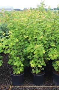 Acer circinatum #5