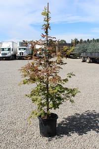 Acer jap  'Aconitifolium' 4-5' #10
