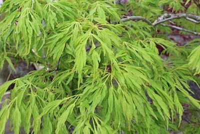 Acer jap  'Green Cascade'