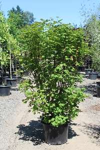 Acer circinatum (nursery grown) 5-6 ft, #20