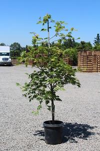 Acer jap  'Aconitifolium' 5-6 ft, #10