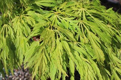 Acer jap  'Green Cascade' (2)