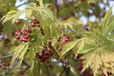 Acer jap  'Aconitifolium'
