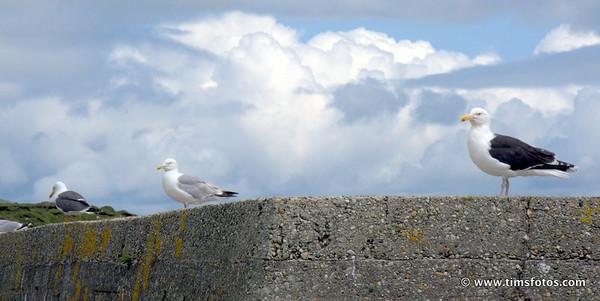 Lesser BBG, Herring Gull and Greater BBG