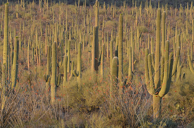 Saguaro Sunset 1