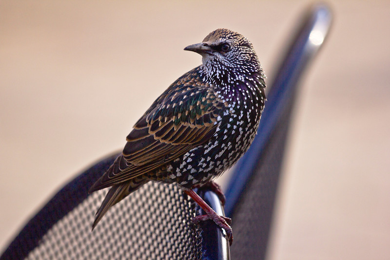 STARLING ON RESTAURANT CHAIR