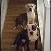 Owners: David & Shawna Brugh<br /> Address: Hope & Robertson<br /> Description: Male & Female American Bull Dogs