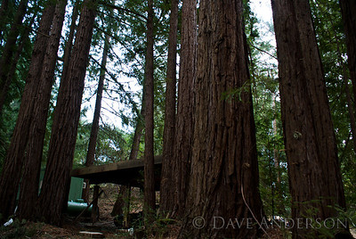 Beautiful redwood grove just NW of the house. House is beyond the carport and generator(green shed).