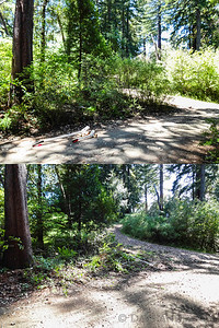 Driveway at fork to neighbor's house, before & after Scotch Broom removal. Scotch Broom is an invasive species that crowds out all other plants, is not palatable to indigenous wildlife, and is a fire hazard.