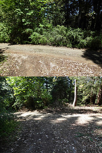 Looking across driveway from fork to neighbor's house, before & after Scotch Broom removal. Scotch Broom is an invasive species that crowds out all other plants, is not palatable to indigenous wildlife, and is a fire hazard.