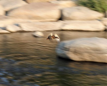 Flying Duck over the Truckee River