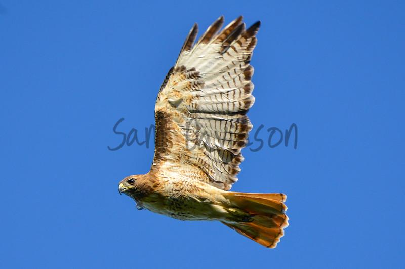 Hawk Leer