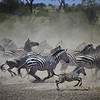Zebras Rushing From the Watering Hole on the Serengeti