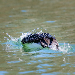 Rare Common Loon on Lake Petit,