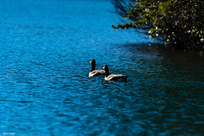 Geese on Lake Petit in Big Canoe, GA.