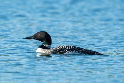 Rare Common Loon on Lake Petit,