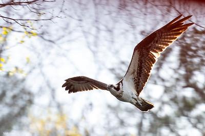 Osprey, Lake Petit.