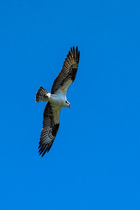 Osprey, Lake Petit.