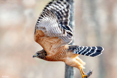 Red Tailed Hawk with field mouse.