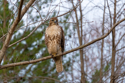 Red Tailed Hawk.
