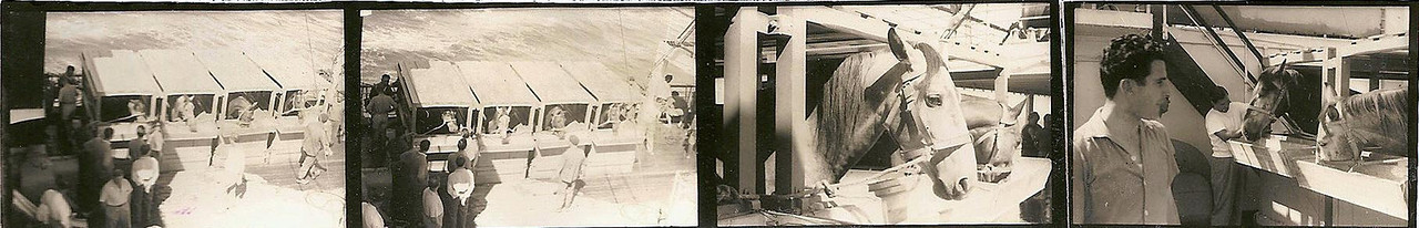 1956 - Cavalos a bordo do Pátria   Valão - Grande e preto;- Violino - castanho claro e de crina e cauda douradas ; Azedo - Cinzento malhado; Azal - Pequeno e branco.  Creio que o Azedo e Azal foram os últimos cavalos vindos do Puto. Depois o Sr. Bonito (...) foi à África do Sul buscar o Inge (novinho, belíssimo e pouco trabalhado) e a Hialurgia (égua puro-sangue Inglês, ex-corredora) que andava que não era fácil... O fartámo-nos de gozar com estes dois - fazíamos corridas no ex-campo-de-golfe à frente da K-18. E, guiados pelo Bonito, treinámos o Inge para começar a fazer alta escola. Tenho uma vaga memória dum Jalopy que talvez também tenha vindo da A. do Sul, alguém se lembra?? Por esta altura já os garranos não eram montados (excepto pelo Pipas , Zé Santos Sousa e eu, donde a história que já vos contei do Zé ser perseguido por um dos tais garranos...) - também não me lembro dos nomes deles. O Azal e o Inge eram os meus cavalos preferidos, passei muitas horas na cavalariça com eles... Luís a história de eu ir parar ao hospital passou-se ao princípio (meados da década de 60) com uns animais (parece-me que havia 2) que não eram cavalos nem garranos, antes pelo contrário (provávelmente fruto de trancadas furtivas cavalo/garrana quando o Bonito não estava a ver...). Uma destas bestas deu uma pirueta tal que eu caí entre as patas traseiras do bicho e como ele continuou a escoicear esfolou-me as costelas... O Dique era um cavalo castanho, pequeno e, como dizes, bera como a cobras. O que está na foto com o Zé Tó Macedo Simões era uma pileca de primeira, muito querido do Zé Santos Sousa, mas não me consigo lembrar do nome dele (não era Azalão...). Victor Valente