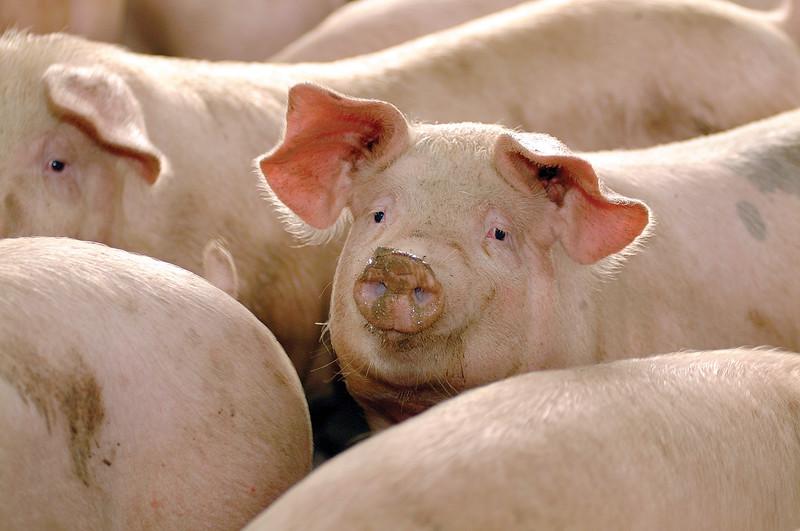 corrales de cerdos