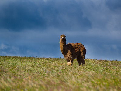 Alpaca in the Field