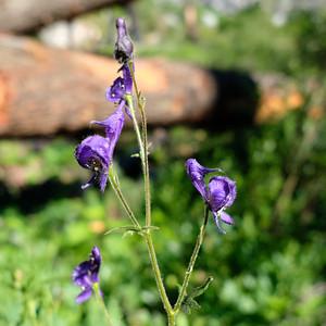 Purple orchids?