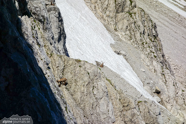 Alpine Ibex. As they play, the unnerving sound of falling rocks is intensified. But they don't mind.