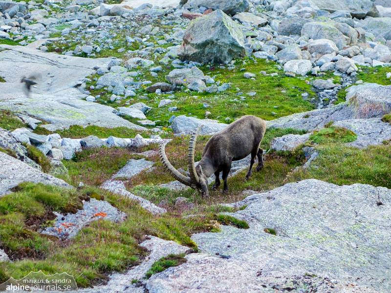 Alpine Ibex grazing below the Mountet hut.