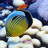 Black-tailed Butterflyfish