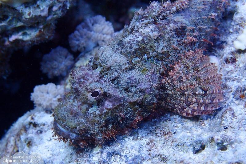 Scorpionfish.