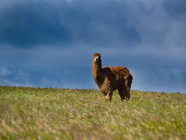 Alpaca in the Field