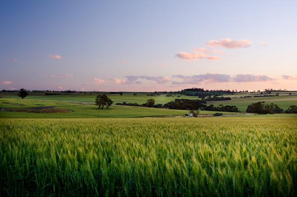 Wheatfield Sunset