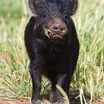20130922 - Piglets 096