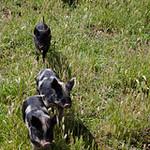 20130922 - Piglets 107